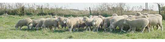 Sheep in pasture - fall image